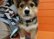 5 Best Dog Products for Shiba Corgis (Reviews Updated 2021)