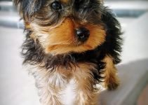5 Best Dog Products for Silky Terriers (Reviews Updated 2021)