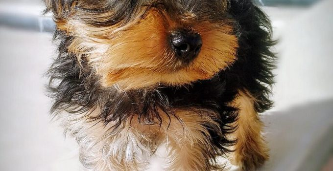 Best Dog Products For Silky Terriers