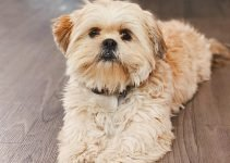 5 Best Dog Products for Silky Tzus (Reviews Updated 2021)