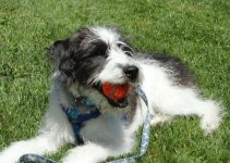 5 Best Dog Products for Smooth Foodles (Reviews Updated 2021)