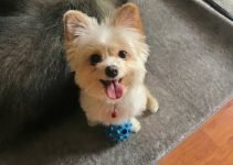 5 Best Dog Products for Smooth Pom Terriers (Reviews Updated 2021)