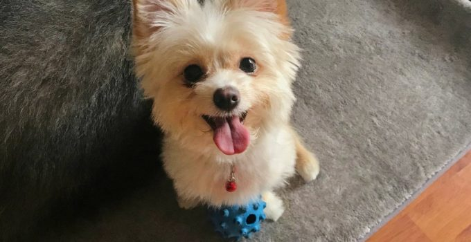 Best Dog Products For Smooth Pom Terriers