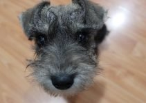 5 Best Dog Products for Smooth Scottish Fox Terriers (Reviews Updated 2021)