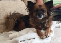 5 Best Dog Products for Toy Pom Terriers (Reviews Updated 2021)