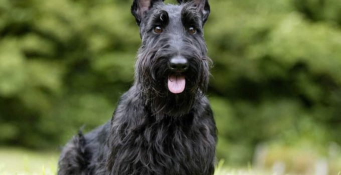 Best Dog Products For Toy Scottish Fox Terriers