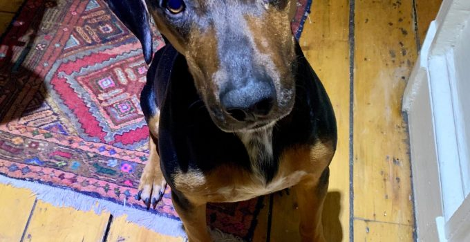 Best Dog Products For Transylvanian Hounds