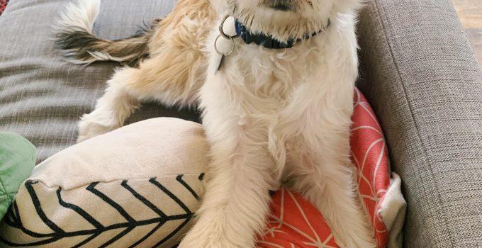 Best Dog Products For Tzu Bassets