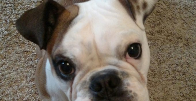 Best Dog Products For Valley Bulldogs