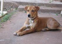 5 Best Dog Products for Vizsla Staffs (Reviews Updated 2021)