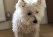 5 Best Dog Products for Wee-Chons (Reviews Updated 2021)