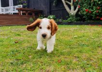 5 Best Dog Products for Welsh Hounds (Reviews Updated 2021)