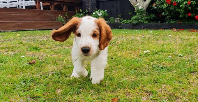 Best Dog Products For Welsh Hounds