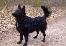 Croatian Sheepdog Dog Breed Information – All You Need To Know