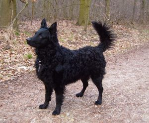 Croatian Sheepdog Dog Breed Information All You Need To Know