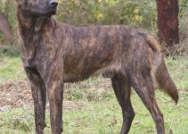 Cursinu Dog Breed Information – All You Need To Know
