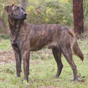 Cursinu Dog Breed Information All You Need To Know