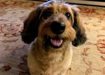 Dach-Griffon Dog Breed Information – All You Need To Know