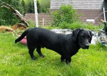 Dachsador Dog Breed Information All You Need To Know