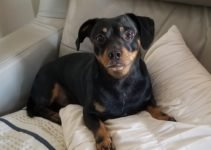 Dachsweiler Dog Breed Information All You Need To Know