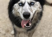 Dalmatian Husky Dog Breed Information – All You Need To Know