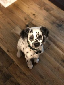 Dalmatian Springer Dog Breed Information All You Need To Know