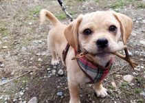Daug Dog Breed Information – All You Need To Know