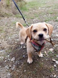 Daug Dog Breed Information All You Need To Know