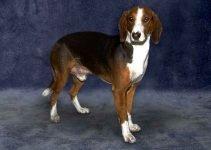 Deutsche Bracke Dog Breed Information – All You Need To Know