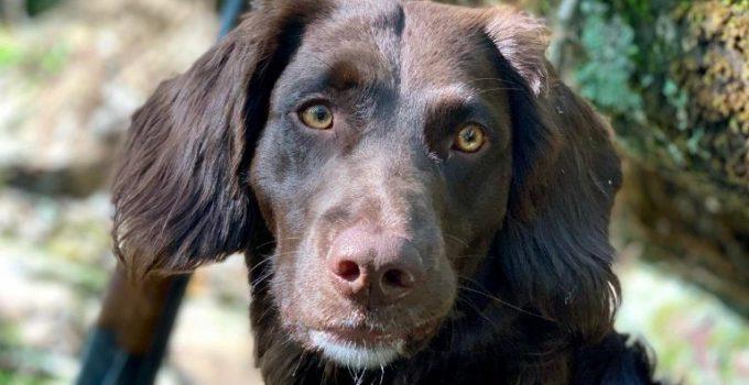 Deutscher Wachtelhund Dog Breed Information All You Need To Know