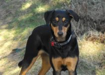 Doberdor Dog Breed Information – All You Need To Know