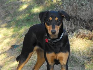 Doberdor Dog Breed Information All You Need To Know