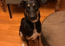Doberman Collie Dog Breed Information – All You Need To Know