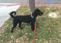 Dobie Schnauzer Dog Breed Information – All You Need To Know