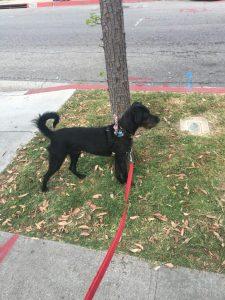 Dobie Schnauzer Dog Breed Information All You Need To Know