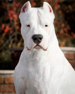 Dogo Argentino Dog Breed Information All You Need To Know