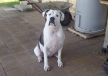 Dogo Guatemalteco Dog Breed Information – All You Need To Know