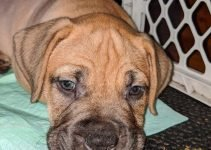 Dogue de Boxer Dog Breed Information – All You Need To Know