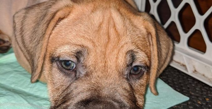 Dogue De Boxer Dog Breed Information All You Need To Know