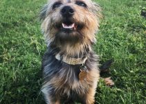 Dorkie Dog Breed Information – All You Need To Know