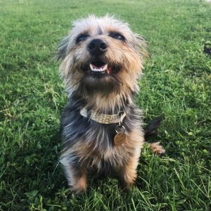 Dorkie Dog Breed Information All You Need To Know