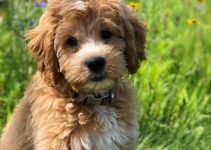 Double Doodle Dog Breed Information – All You Need To Know
