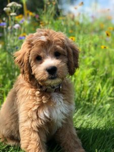 Double Doodle Dog Breed Information All You Need To Know