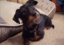 Doxie Scot Dog Breed Information – All You Need To Know
