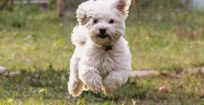 Dualanese Dog Breed Information All You Need To Know