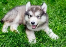 Dusky Dog Breed Information – All You Need To Know