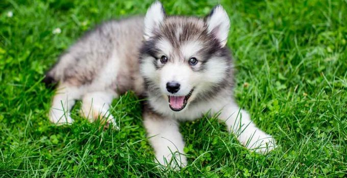 Dusky Dog Breed Information All You Need To Know