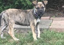 Dutch Shepherd Dog Breed Information – All You Need To Know