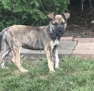 Dutch Shepherd Dog Breed Information All You Need To Know