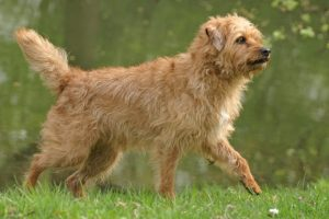 Dutch Smoushond Dog Breed Information All You Need To Know